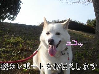 20322sakura_1