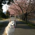 河津桜を背景に