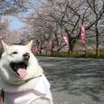 川根桜祭り