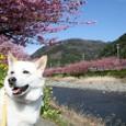 満開の河津桜祭