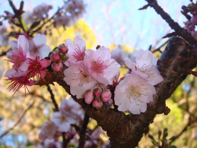 こちらも寒桜