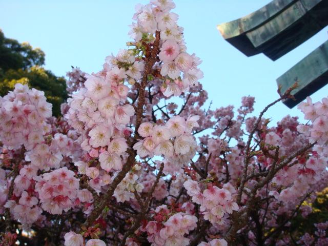 また違った寒桜だよ