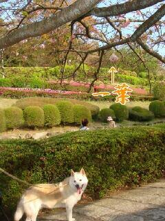 遅咲きの桜たち