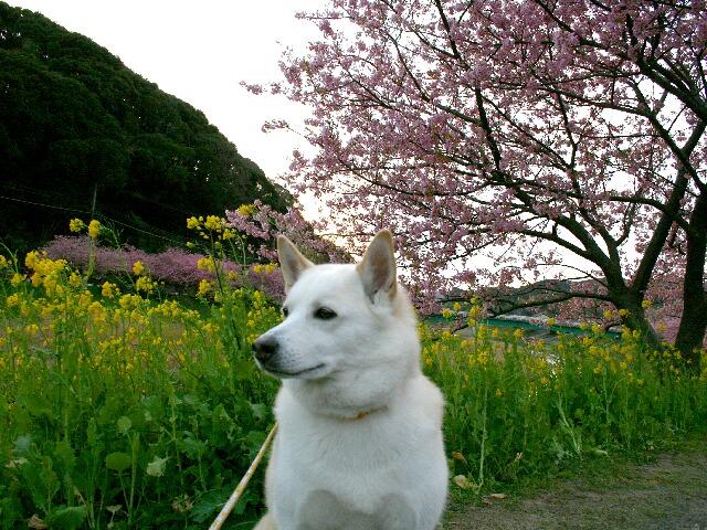 下賀茂の桜祭