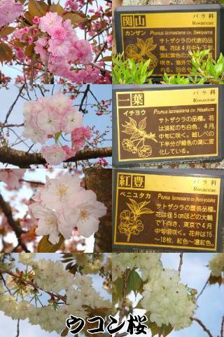 静岡県立美術館の桜たち